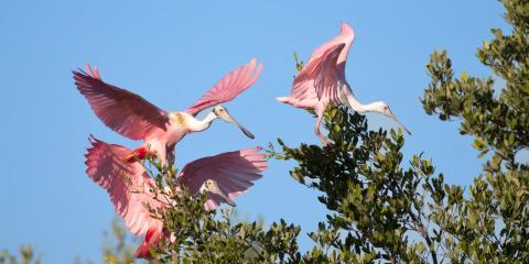 Roseate Spoonbills - Image credit: The Florida Keys and Key West TB