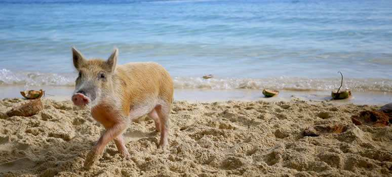 pig on beach in the bahamas