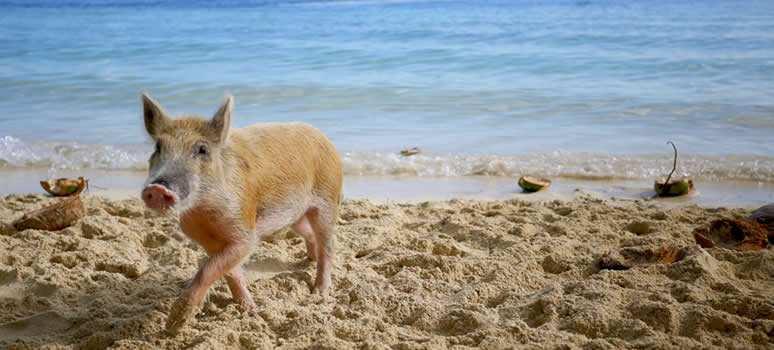 pig on beach in the bahamas
