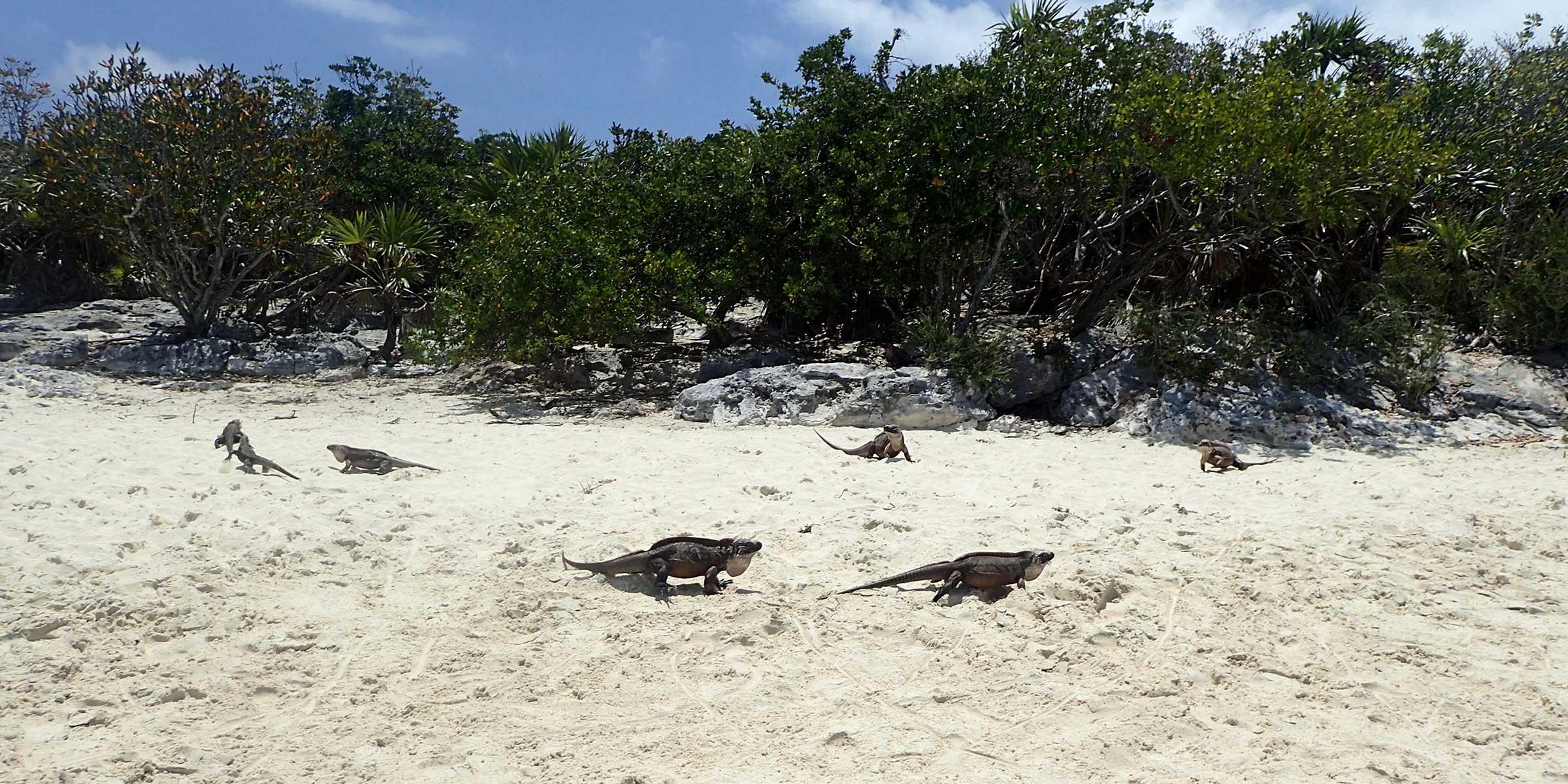 Iguanas on Allan's Cay in the Exumas