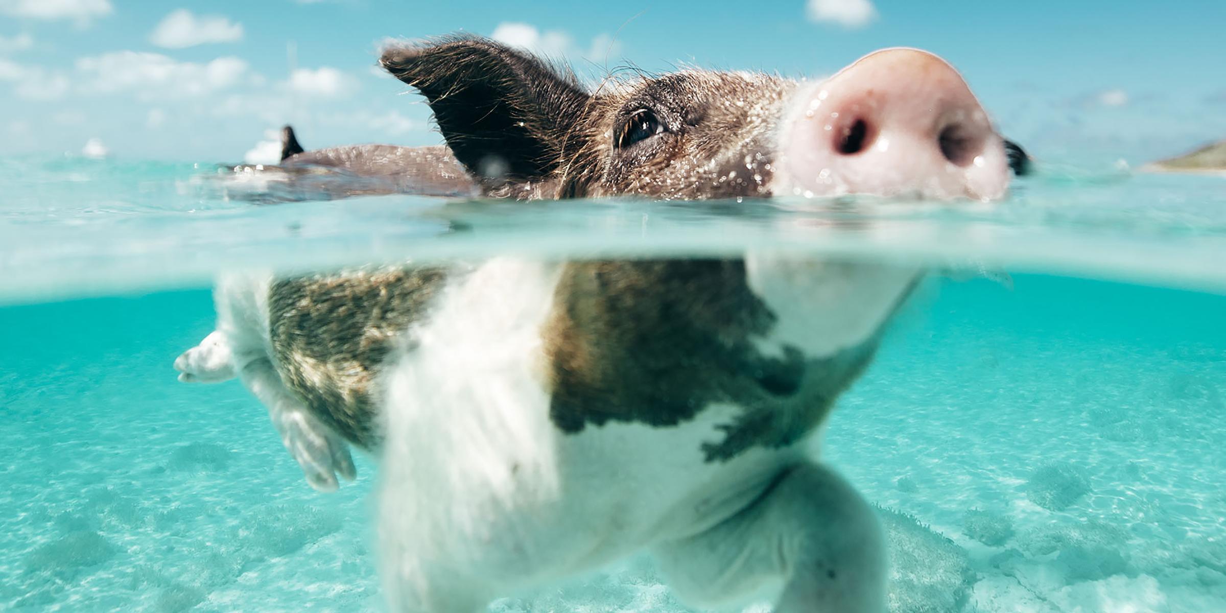 Swimming pig in the Exuma Islands, Bahamas